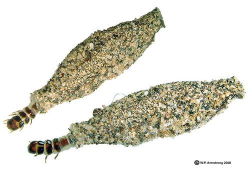 plaster bagworm | Bob Wlos